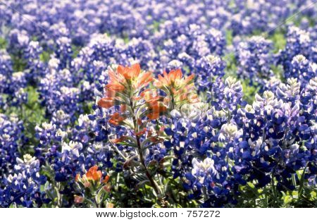 Indian Paintbrush In A Field Of Blue