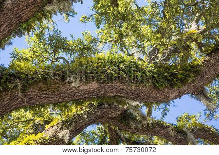 Green Ferns On Oak Limbs