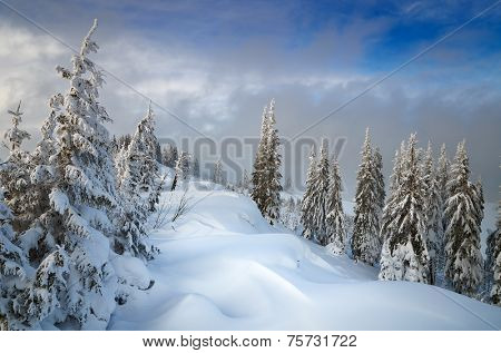 Coniferous forest in winter. Beautiful snow drifts. Christmas view