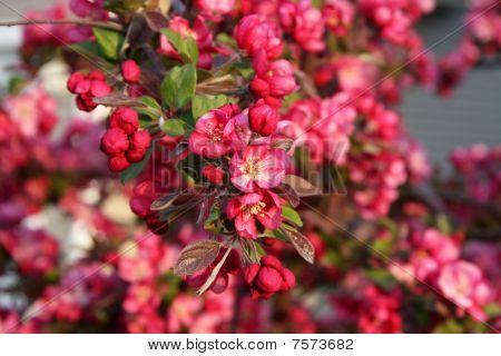 Spring crabapple blooms