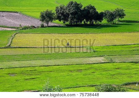 Rice field at Chau Doc, An Giang Province , Southern of Vietnam, a farmer is driving his bicycle on