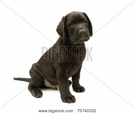 Puppy Labrador Retriever Chocolate Color On A White Background
