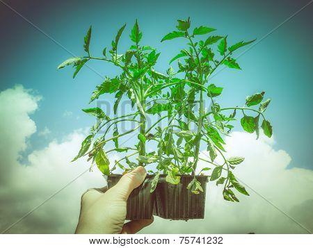 Retro Look Plug Tomato Plant