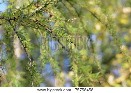 The background of bright green spruce