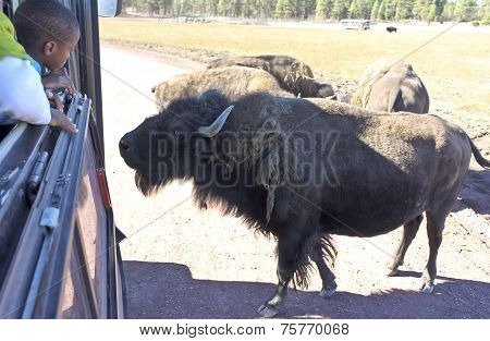 A Boy And Bison In A Safari Park