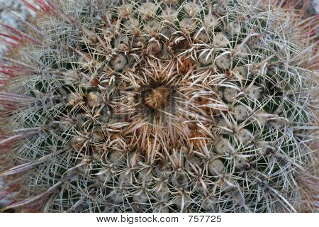Barrel Cactus View From Top