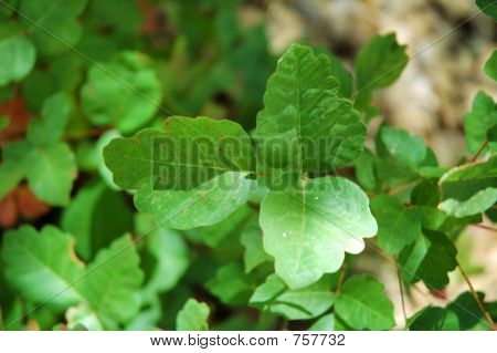 Poison Oak - green phase