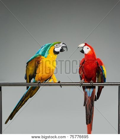 Two colourful parrots fighting  on a perch