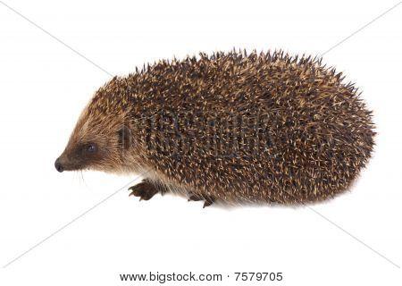 European Hedgehog