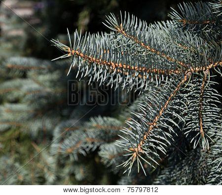 Needles On A Tree