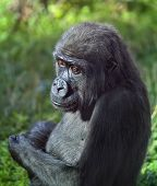 pic of ape  - Side face portrait of a young gorilla male on green background - JPG