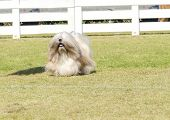 pic of long beard  - A portrait view of a small young light tan fawn beige gray and white Lhasa Apso dog with a long silky coat running on the grass - JPG