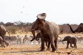 picture of elephant ear  - A herd of African elephants drinking at a waterhole - JPG