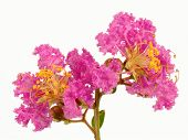 stock photo of crepe myrtle  - Two lilac crepe myrtle  - JPG