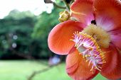pic of cannonball-flower  - Cannonball tree flower - JPG