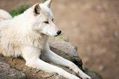 image of wolf-dog  - Arctic Wolf  - JPG