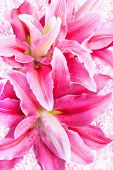 foto of stargazer-lilies  - beautiful pink lilies on vintage blur background - JPG