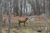 stock photo of bambi  - A lone large elk in the forest