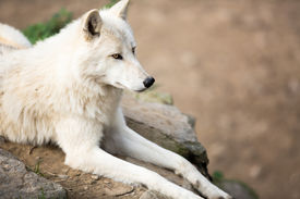 picture of horrific  - Arctic Wolf  - JPG