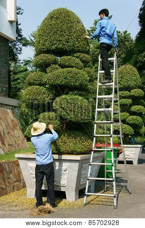 Asian Worker, Decorative Plant,  Bonsai Tree