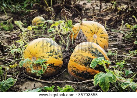 Yellow Ripe Pumpkins In The Field