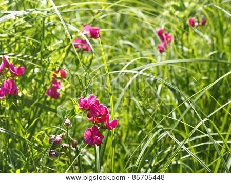 Flowering Tuberous Pea Among Meadow Grasses
