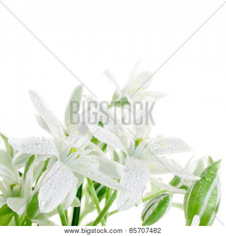 White flowers isolated on white background