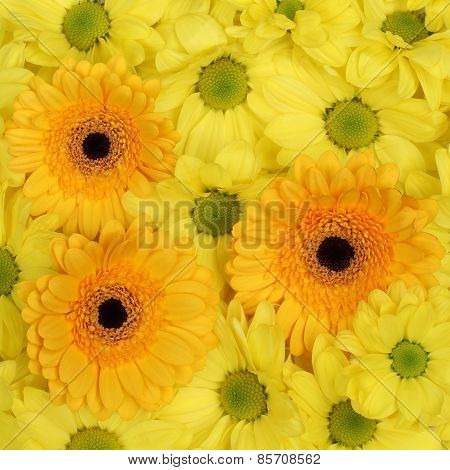 Yellow Flowers Chrysanthemums Background In Spring Season Or Mothers Day