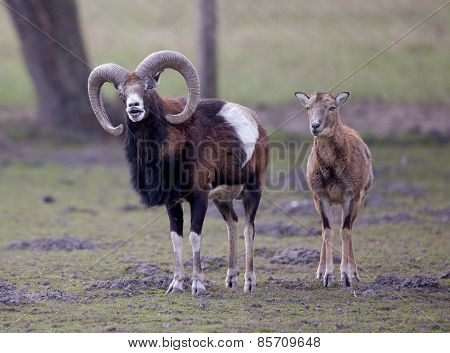 Mouflon Couple