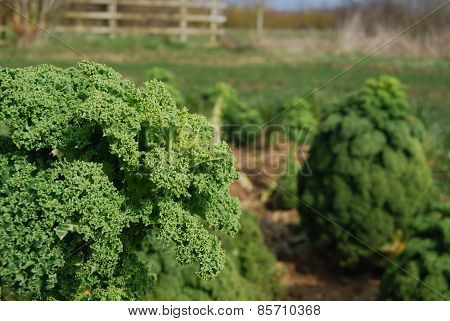 Close Up of Curly Kale