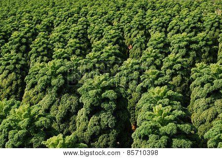 Curly Kale Growing in Field (Screen Fill)