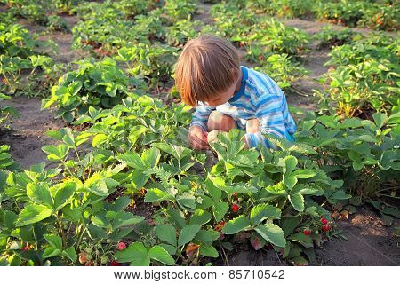 Boy Picked Strawberries.