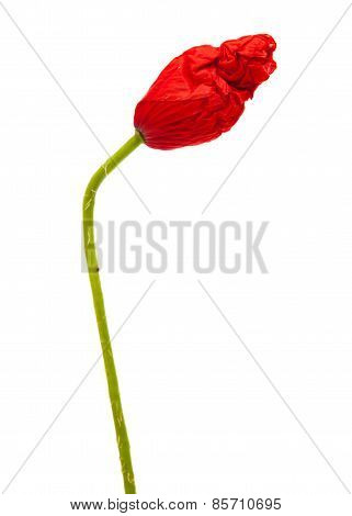 Closed Wrinkly Poppy Bud