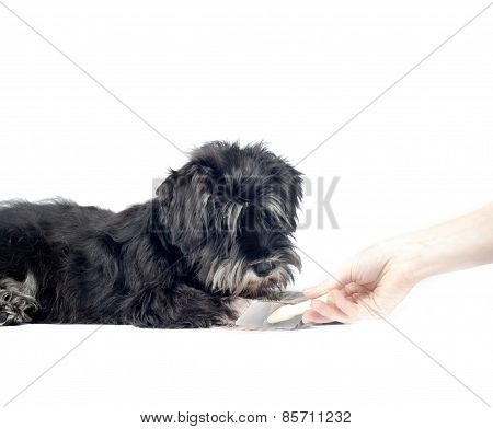 Black with silver Shnauzer Puppy And Groomer Hand