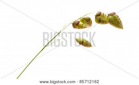 Briza, Quaking Grass, Isolated
