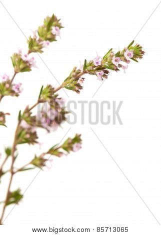 Flowering Thyme Isolated