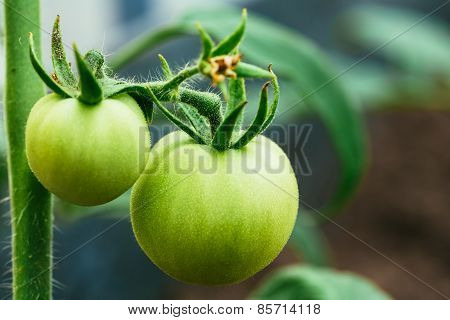 Green Tomatoes On Branch In Garden