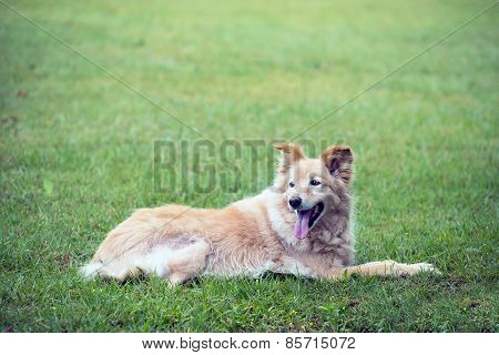 Cross Breed Golden Retriever Labrador Lying On The Grass