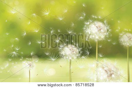 Vector white dandelions.