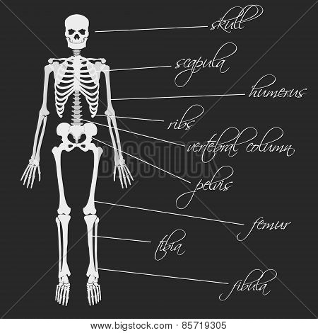 White Human Bones Skeleton With Description Eps10