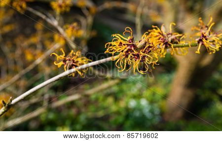 Orange Flowering Twig Of A Witch-hazel Shrub