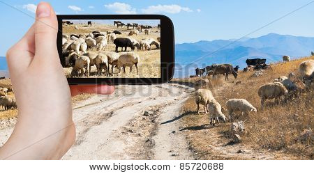 Tourist Photographs Flock Of Sheep Grazing, Armenia