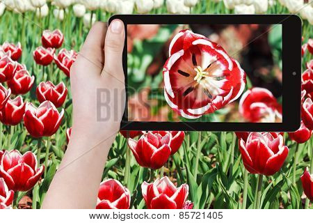 Tourist Photographs Of Red Tulip Flower Close Up