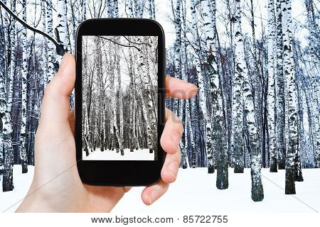Tourist Photographs Of Birch Grove In Cold Winter