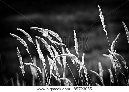 Tall wild grass stalks growing in black and white