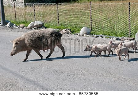 Pig Family On The Rode
