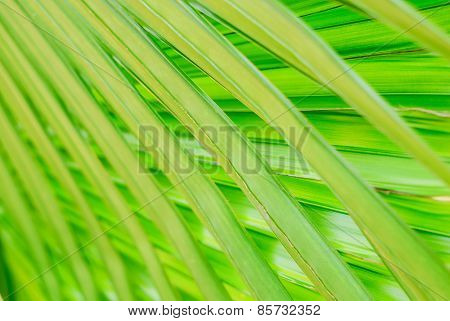 Beautiful Texture Of The Palm Leaf