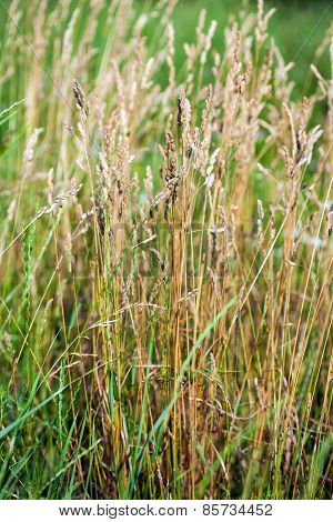Wild Needle Grass, Nassella Tenuissima Pattern Background