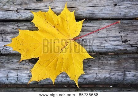 Autumn Scene- Golden Maple Leaf On The Wooden Background
