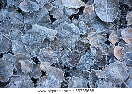 Frozen Leaves. Picture Can Be Used As A Background
